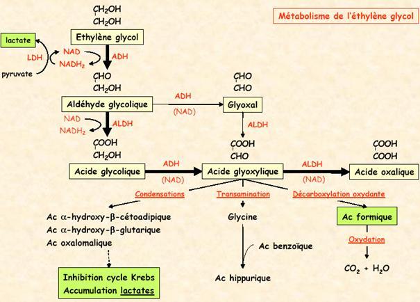 Métabolisme de l'éthylène glycol